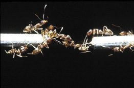 comportement collectif fourmis